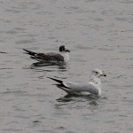 Franklin's Gull – Blue Marsh Lake, PA