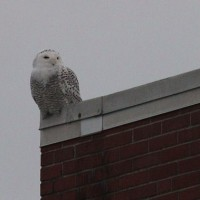 Snowy Owl - female at PJAX Freight Service, Chester County, PA (Photo by Alex Lamoreaux)