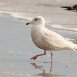 Glaucous Gull – Huguenot Memorial City Park, Florida