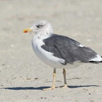 Would it be too much to ask to see a Lesser Black-backed Gull loafing on the swimming beach at Bald Eagle SP??? (Photo by Alex Lamoreaux)