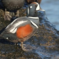 Harlequin Duck - male (Photo by Alex Lamoreaux)