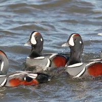 Harlequin Duck - males (Photo by Alex Lamoreaux)
