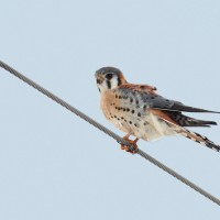 The American Kestrel story