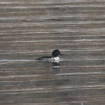 Common Goldeneye x Hooded Merganser Hybrid – Presque Isle SP, PA