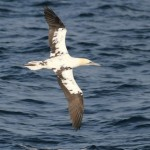 Cape May Pelagic – Northern Gannets!