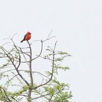 Vermilion Flycatcher (1 of 2 present) - Orlando Wetlands Park, FL (Photo by Alex Lamoreaux)