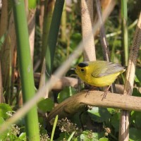 Wilson&#8217;s Warbler &#8211; Newnan&#8217;s Lake, FL