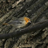 Bullock&#8217;s Oriole video