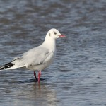 Photo Study: Black-headed Gull in Cape May, NJ