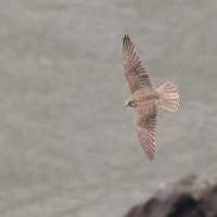 A Prairie Falcon (adult male) having fun along the cliffs below Dedication Point - Photo taken in Idaho by Alex Lamoreaux, 2011