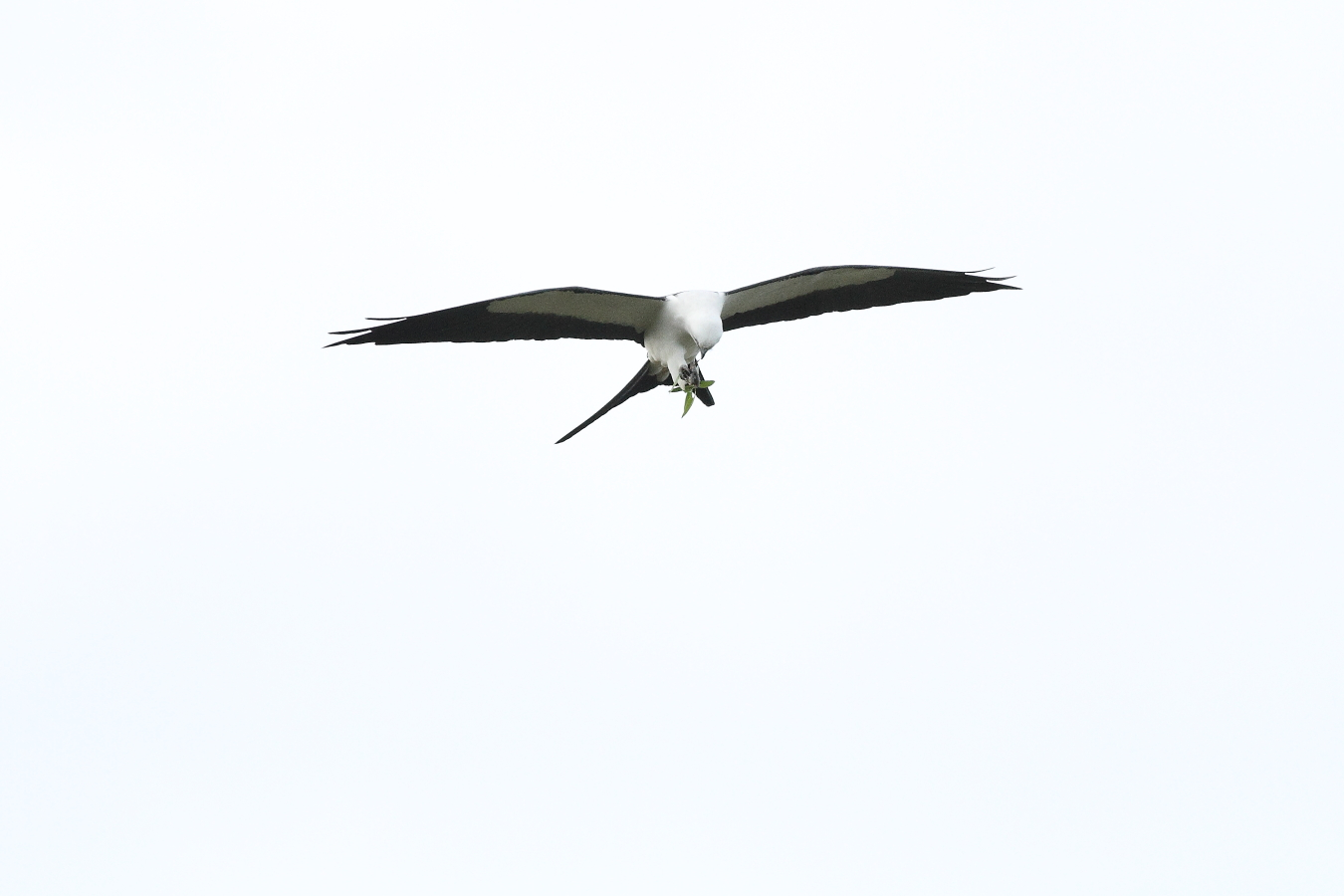 Swallow-tailed Kite - note rudder-like tail