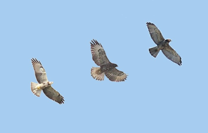 Swainson's Hawk (left), Short-tailed Hawk (center), and Broad-winged Hawk (right) - NOTE THAT THESE ARE NOT TO SCALE. (Photo composite by Alex Lamoreaux)