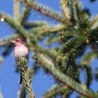 Purple Finch - male at Black Moshannon SP (Photo by Alex Lamoreaux)