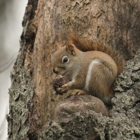 Red Squirrel at the Duck Pond - I currently have seen Eastern Gray Squirrel, Fox Squirrel, Red Squirrel, and Southern Flying Squirrel so far this year. (Photo by Alex Lamoreaux)