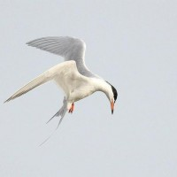 Forster&#039;s Tern - Toftrees Pond (Photo by Alex Lamoreaux)