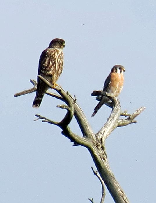 Merlin and kestrel at Presque Isle SP (Photo by Katie Anderson)