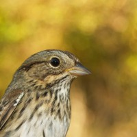 Lincoln&#039;s Sparrow - captured while bird banding (Photo by Alex Lamoreaux)