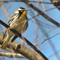 Yellow-throated Warbler – iPhone digiscoping test