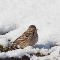 Vesper Sparrow feeding on the edge of the road