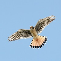 &#039;Southeastern&#039; American Kestrel - male (Photo by Alex Lamoreaux)