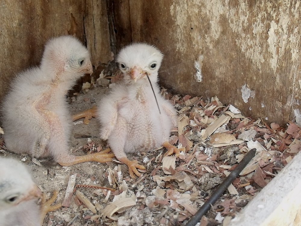 Ageing American Kestrel Chicks By Anna Fasoli Nemesis Bird