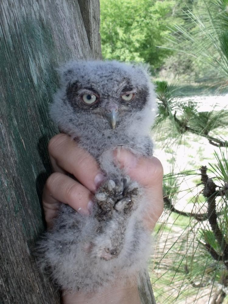 Eastern screech owl baby eastern screech owl chick
