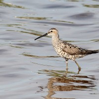 Stilt Sandpiper and Friends at Merritt Island NWR