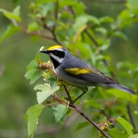Golden-winged Warbler gleaning little caterpillars