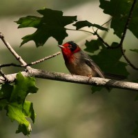 Red-faced Warblers, Donkeys, and Frustration