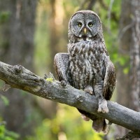 Adult Great Gray Owl - Photo by Darren Clark