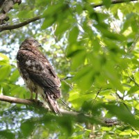 Northern Goshawk - recently-fledged juvenile (Photo by Alex Lamoreaux)