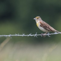 Photo Study: Dickcissels in Mercer County, PA