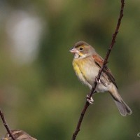Dickcissel Summer