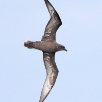 Herald Petrel - Adult dark type offshore Maryland, 2012 (Photo by Anna Fasoli)