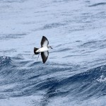 Maryland White-faced Storm-Petrel – 8/25/2012