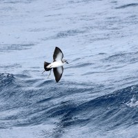 White-faced Storm-Petrel - offshore Maryland, August 2012 (Photo by Anna Fasoli)