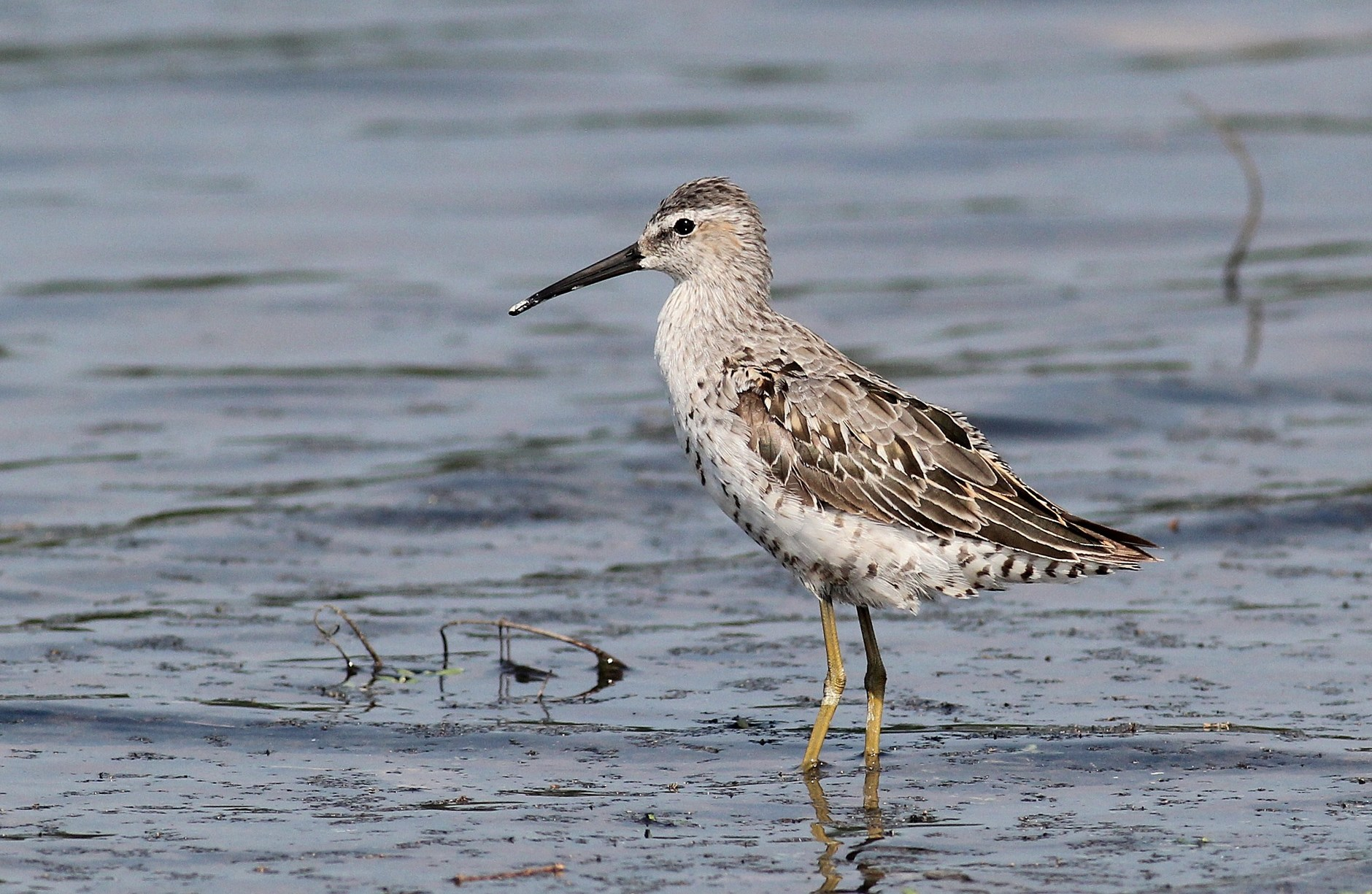 Stilt Sandpiper - Adult at Conejohela Flats, PA (Photo by Alex Lamoreaux)