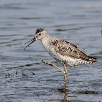 Photo Study: Stilt Sandpiper @ Conejohela Flats