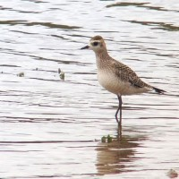 American Golden Plover at edge of flats, north parking area Somerset Lake