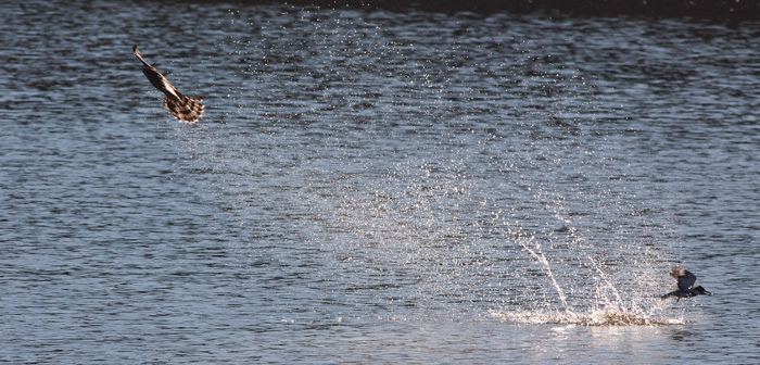 Cooper's Hawk almost grabs a Belted Kingfisher which dove into the water to escape