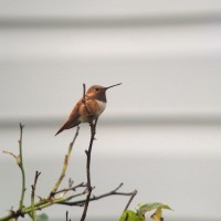 Rufous Hummingbird - adult male