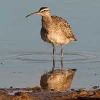 Whimbrel and 3 Avocets– Sept '12, Somerset County, PA