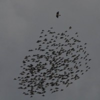 Hawks harassing starlings