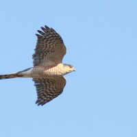 Sharp-shinned Hawk adult - Photo by Alex Lamoreaux