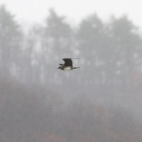 Hurricane Sandy storm-birding at Bald Eagle SP, PA