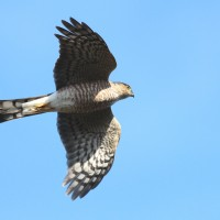 Sharp-shinned Hawk - adult (Photo By Anna Fasoli)