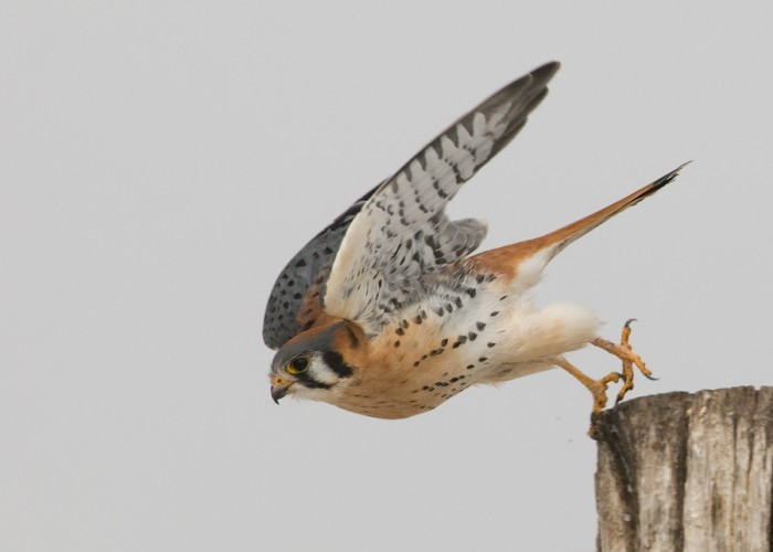 Adult male American Kestrel (photo © Mia McPherson)