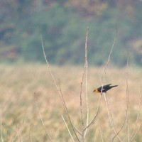 Yellow-headed Blackbird - VanDyne Spoor Rd2