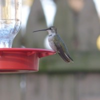 A first state record – Black-chinned Hummingbird