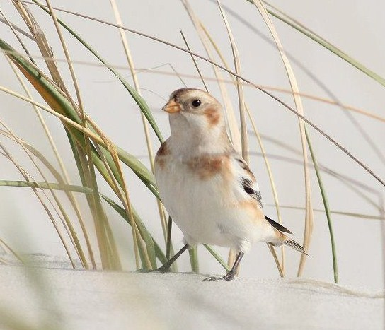Snow Bunting - Photo by Alex Lamoreaux